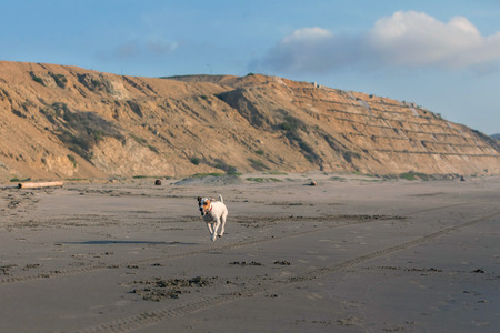 hunter playful: Jack Russell Terrier Running With Speed After A Car On The Beach