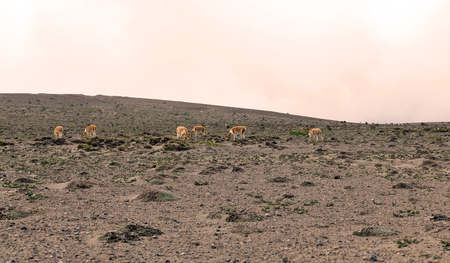 vicuna: Family Group Of Vicuna Grazing In Chimborazo National Park, South America