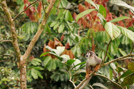 amazonian: Common Squirrel Monkey Playing And Jumping In The Trees Of Amazonian Jungle, South America Stock Photo