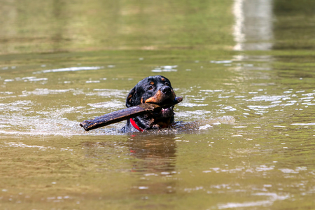 venerate: Portrait Of A Purebred Male Rottweiler In A River Carrying A Large Piece Of Wood