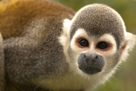 squirrel monkey: Portrait Of Cute Small Common Squirrel Monkey Standing And Attentively Looking Curiously At The Camera, South America