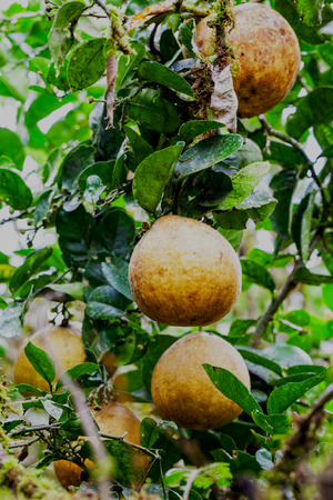 referred: Pomelo Fruit Also Referred To As Pummelo, Pamplemousse, And Shaddock, Pomelos Originated In Southeast Asia Are The Largest Of The Citrus Fruits, And Most Closely Related To Grapefruits