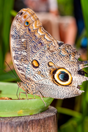 lepidopteran: Close Up Of A Beautiful Tropical Owl Butterfly, South America