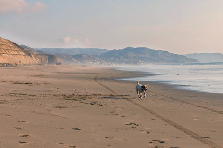 quickness: Jack Russell Terrier Tired After Running With Speed After A Car On The Beach Stock Photo