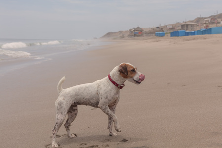 keen: Jack Russell Terrier Coming Out Of The Salty Water Of The Pacific Ocean