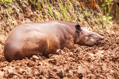 reddish: Close Up Of An Reddish Brown Female Tapir, South America Stock Photo