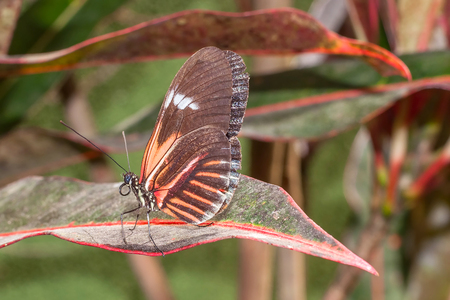amazonian: Fragile Red Cattle Heart Butterfly, Amazonian Rainforest, South America Stock Photo