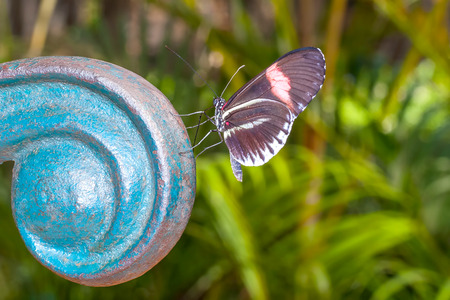 amazonian: Red Cattle Heart Swallowtail, Butterfly, Amazonian Rainforest, South America