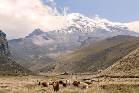 red america: Herd Of Llamas In Chimborazo National Park, South America Stock Photo