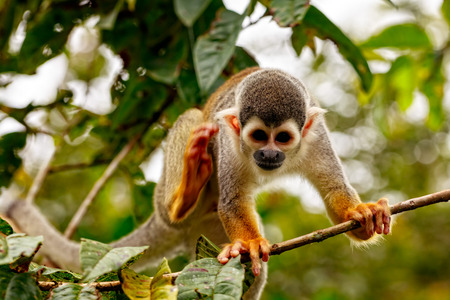invasive: Common Squirrel Monkey, New World Monkey, Playing In The Trees