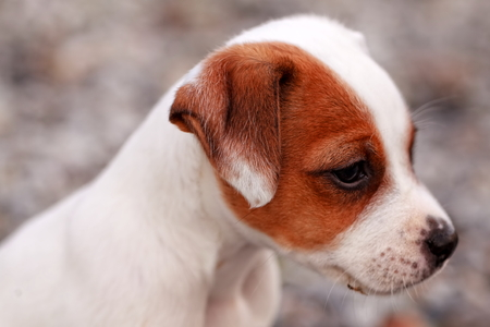 curiously: Jack Russell Terrier Puppy Standing And Attentively Looking Curiously Stock Photo