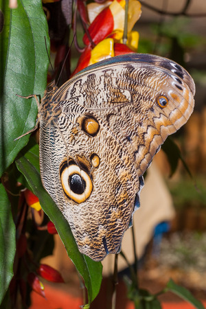 lepidopteran: Giant Caligo Butterfly, The Owl Butterfly, South America Stock Photo