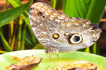 eyespot: Giant Owl Butterfly, Amazon Rainforest, South America Stock Photo
