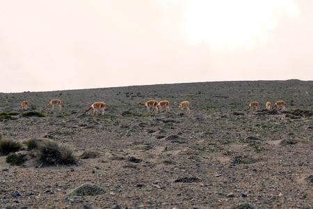 south  america: Vicuñas en el Parque Nacional de Chimborazo, América del Sur