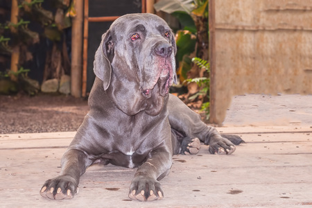 boned: Neapolitan Mastiff Or Italian Mastiff Is A Massive Breed Often Used As A Guard And Defender Of Family And Property, Due To Their Protective Instincts And Their Fearsome Appearance Stock Photo