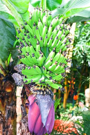 amazonian: Banana Tree In The Amazonian Jungle, National Park Yasuni
