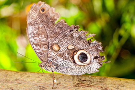 lepidopteran: Giant Caligo Oileus Butterfly, The Owl Butterfly, Amazonian Rainforest, South America