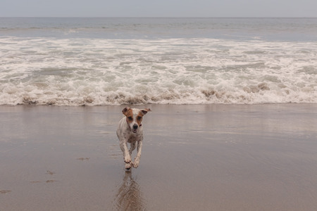 affectionate action: Jack Russell Terrier Running At Full Speed On The Beach