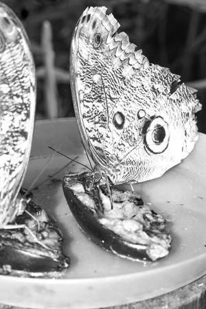 eyespot: Owl Butterfly Is A Butterfly, Known For Their Huge Eyespots, Which Resemble Owls Eyes, South America