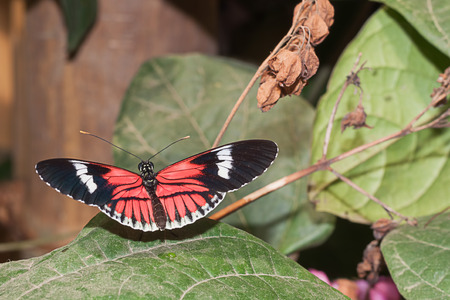 amazonian: Red Cattle Heart Butterfly, Amazonian Rainforest, South America Stock Photo