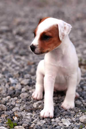 curiously: Small Puppy Jack Russell Terrier Standing And Attentively Looking Curiously