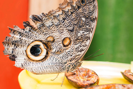 eyespot: Owl Butterfly In Amazon Rainforest Taking His Lunch, South America