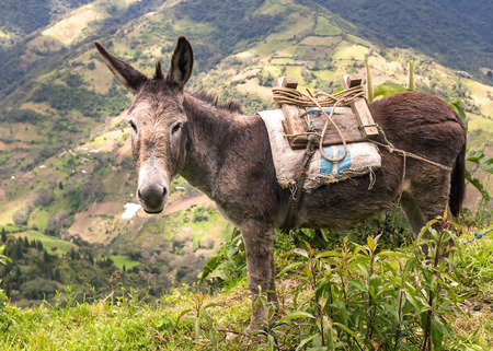 jack ass: Donkey Or Ass Is A Domesticated Member Of The Horse Family, South America Stock Photo