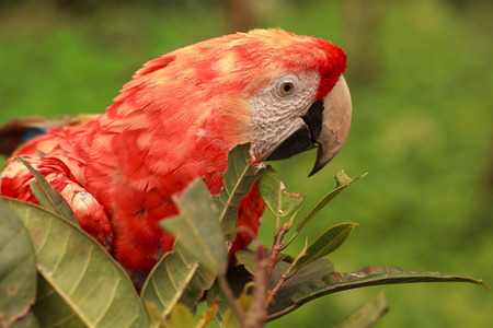 amazonian: Close Up Of Red Scarlet Macaw Parrot Hiding In The Bushes In Amazonian Rainforest, South America