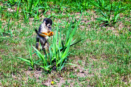 sciureus: Common Squirrel Monkey Looking For Food, Tropical Rainforest