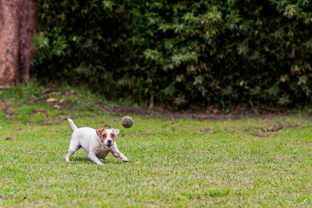tenacious: Running Jack Russell Terrier Female Dog For Thrown Ball Aport Stock Photo