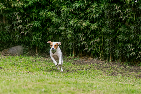 jack terrier: Jack Russell Terrier Dog Jumping On A Field With His Favorite Toy