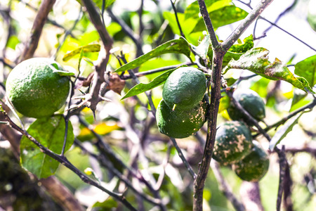 pie de limon: Green And Ripe Lemons Are Hanging In A Tree In An Orchard Of Lemon