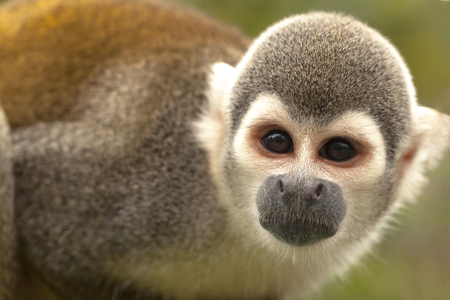 Portrait Of Cute Small Common Squirrel Monkey Standing And Attentively Looking Curiously At The Camera, South America