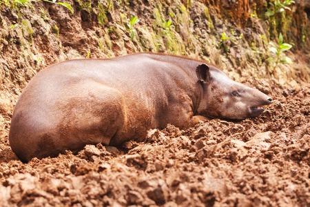 reddish: Close Up Of A Reddish Brown Female Tapir, South America