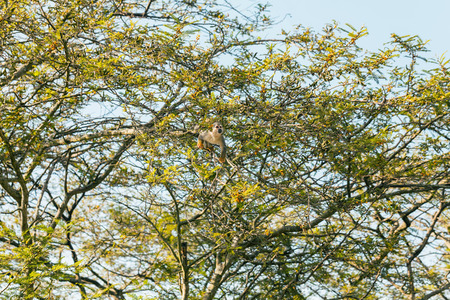 sciureus: Common Squirrel Monkey Jumping And Playing In The Trees, South America