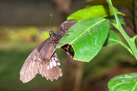 Close Up Of Amazonian Black And Huge Butterfly, South America Stock Photo