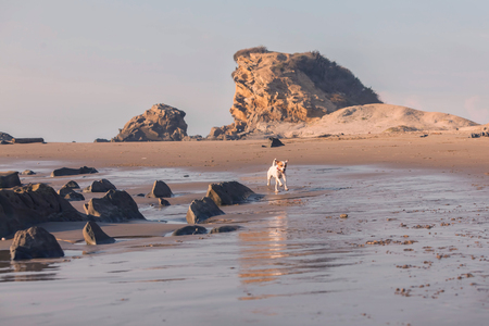 affectionate action: Jack Russell Terrier Runs, Jumps And Plays At The Pacific Ocean