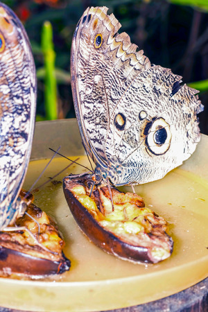 eyespot: Pair Of Owl Butterfly, Eating A Banana, South America