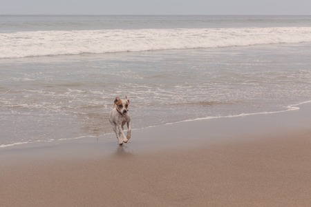 affectionate action: Playful Parson Russell Terrier Dog Playing In The Pacific Ocean