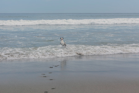 tenacious: Jack Russell Terrier Playing In The Foamy Waves Of The Pacific Ocean Stock Photo
