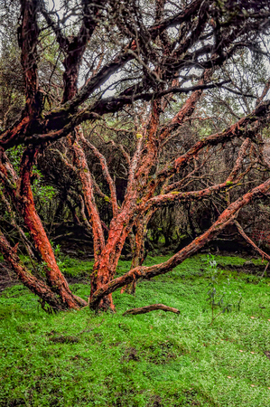 evaluated: Polylepis Forest, Also Called Paper Tree, This Forest Is Evaluated To Be One Of The Oldest On Earth Located In Carchi Region North Of Ecuador, South America