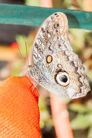 eyespot: Giant Owl Butterfly, Amazonian Rainforest, South America Stock Photo