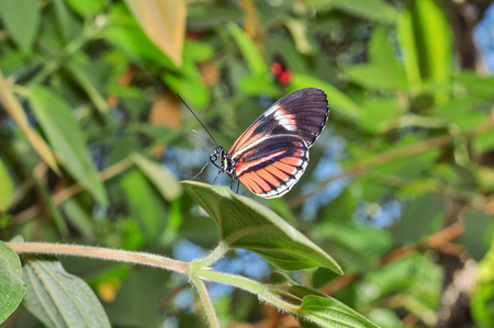 red america: Tiny Red Cattle Heart Butterfly, Amazonian Rainforest, South America