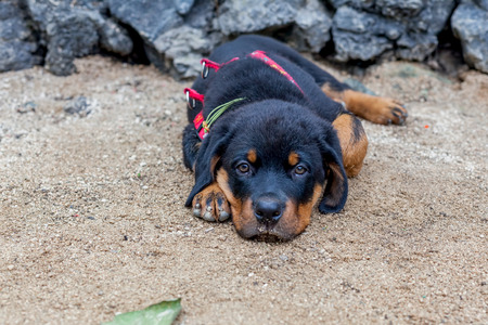 two months: Portrait Of An Young Rottweiler Puppy, Two Months Old