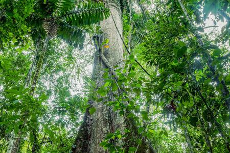 거 대 한 Kapok 나무, Ceiba Pentandra에서 Cuyabeno 야생 동물 보호구, 에콰도르 스톡 콘텐츠