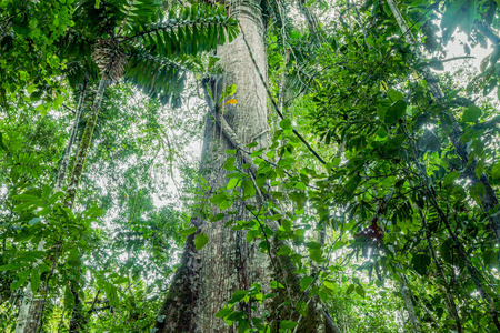 Giant Kapok Tree, Ceiba Pentandra In Cuyabeno Wildlife Reserve, Ecuador