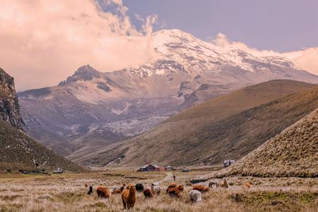 チンボラソ火山高高度、エクアドルで放牧ラマの群れ 写真素材 - 62945829