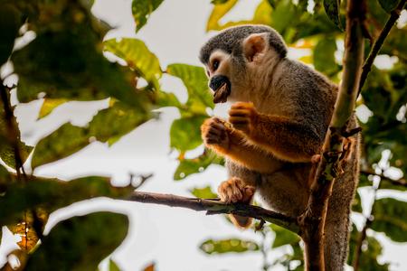 sciureus: Close-Up Of A Common Squirrel Monkey, National Park Yasuni, Ecuador, South America
