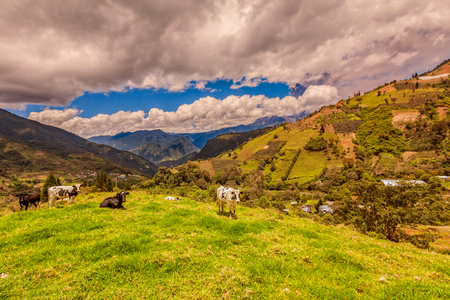 terracing: Cows Grazing On A Green Meadow, Eruption Of Ash Cloud From Tungurahua Volcano In The Background, Ecuador, South America