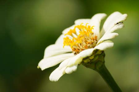 chamomile flower: Close up of chamomile flower Stock Photo